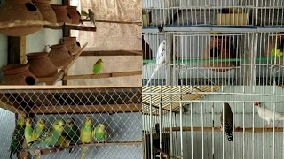 COMPLETE SETUP OF BUDGIES COLONY / INDIVIDUAL ANS FINCHES CAGE IN URDU