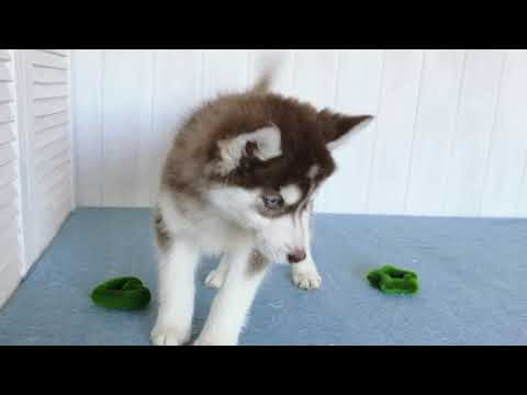 Laima pure breed Mini Husky