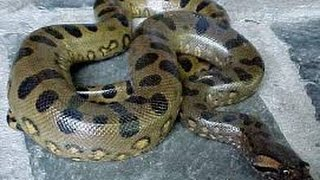 World's biggest snake in village at home. This snake is very very big and very scary. (Anaconda)
