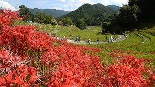 2015年9月22日撮影。奈良県明日香村の稲渕地区の棚田で、ヒガンバナが見...