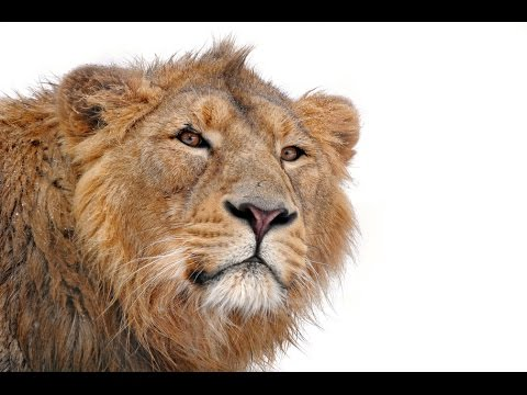 Lion Roar sound effect | FunnyCat.TV