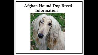 Afghan Hound Dog Breed Information