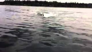 ORCA WHALES....HOLD ON TO THE BOAT!!!!!!!!!!!!!!!!!!!!!!!!!!!!!!!