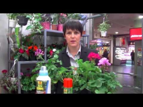 El jardinero en casa geranios y gitanillas doovi for Jardinero en casa