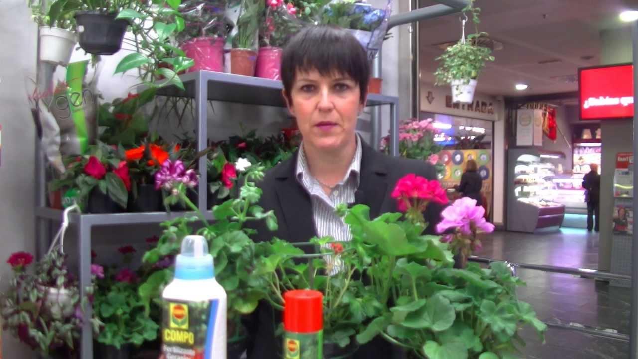 C mo cuidar el geranio la flor del verano consejo for Como cuidar las plantas ornamentales