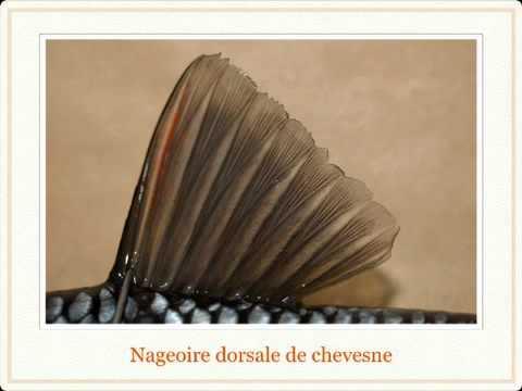hqdefault - Les vertébrés : Les poissons