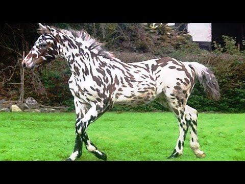 أغلى وأجمل حصان غجري في العالم , لن تصدق سعره  - نشر قبل 7 ساعة