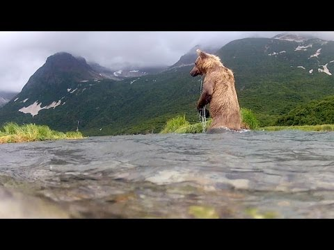 Grizzly Bear Eats GoPro Camera