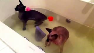 Лучшее видео про кошек  Смотреть как сфинксы принимают ванну