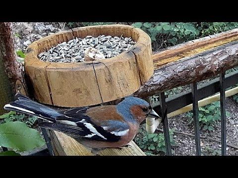 bird-feeder-il-fringuello-e-merlo-!!