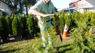 How we trim and care for Arbor vitae  and thuja plicata