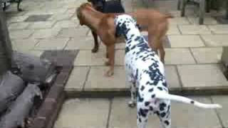 Dog De Bordeux, Rottie And Dalmation Play Fighting