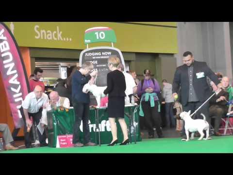 Postgrad Miniature Bull Terrier Crufts 2016 Prt 1Judge Elaine Clark (FourHeatons)