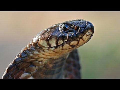 DANGEROUS COBRA fights back during a relocation | Wild snake strikes out at handler, Kruger Park