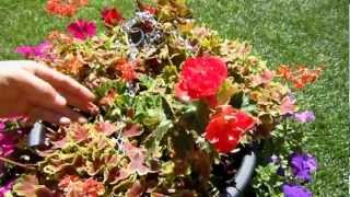 How To Deadhead your Annual Geraniums