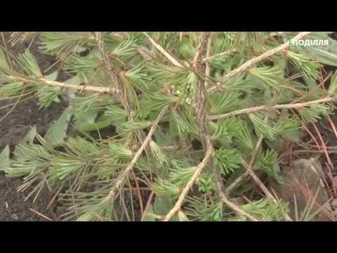 Поділля-центр: Лісівники Хмельниччини відновлюють ліс