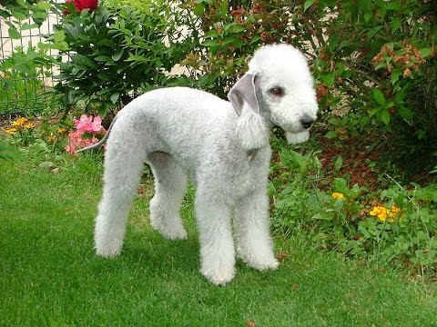 Бедлингтон - терьер (Bedlington Terrier)