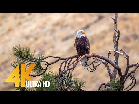 4K Wildlife Film - American Wild Animals, Yakima Canyon Road, WA