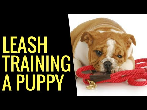 leash-training-a-puppy---the-best-way-of-leash-training-a-puppy