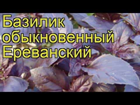 Базилик обыкновенный Ереванский. Краткий обзор, описание характеристик, где купить семена