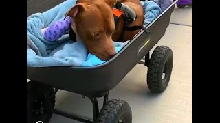 Pit Bull Saved From Dog Fighting Gets All The Toys He Wants