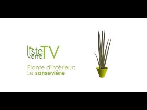 Plante d 39 int rieur le sansevi re youtube for Plantes dinterieur