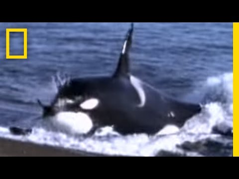 Thumbnail: Killer Whale vs. Sea Lions | National Geographic