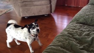 Dog Finally Learns How to Jump on the Couch