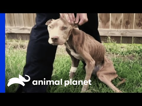Police Rescue Malnourished Pup | Pit Bulls and Parolees