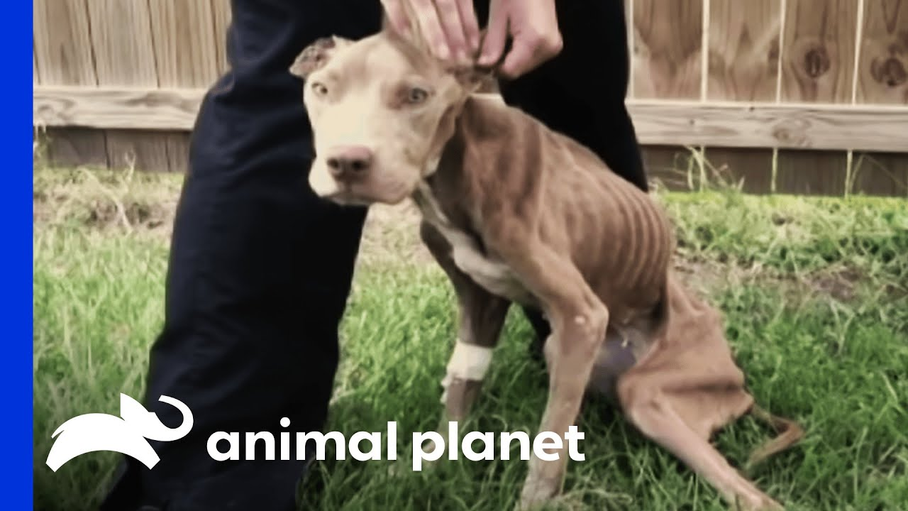 Police Rescue Malnourished Pup Pit Bulls And Parolees Youtube