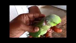 Treatment to a parrot