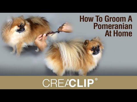How To Groom A Pomeranian At Home