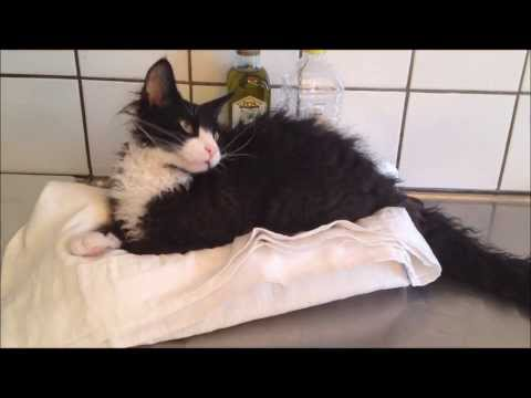 Narfe- LaPerm cat