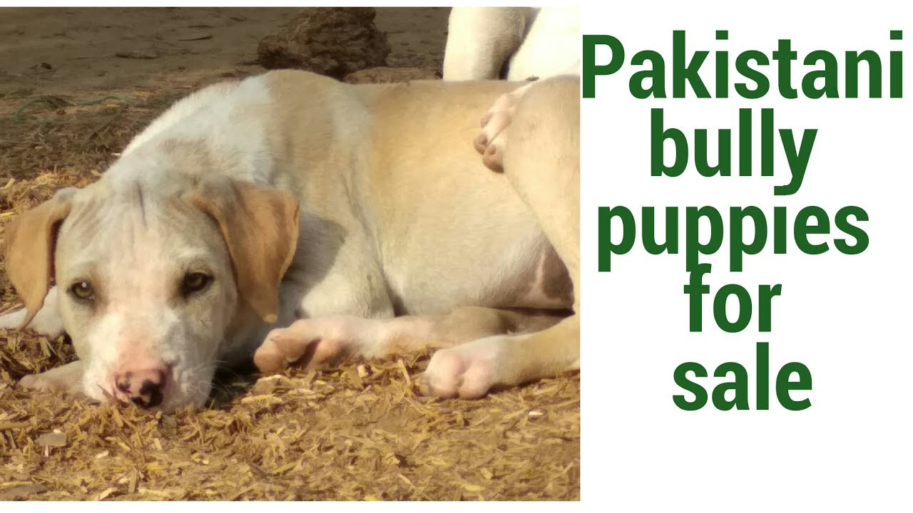 Pakistani bully kutta puppies and adult female are available in less price