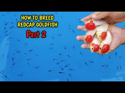How To Breed Goldfish Redcap Part 2   Redcap Fry Update