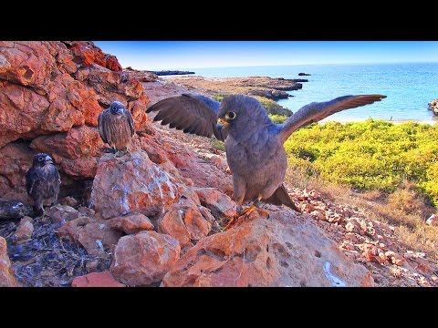 The Migrant - Sooty Falcons in Oman | Trailer