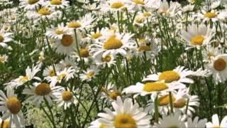 Белые ромашки ( Фристайл )