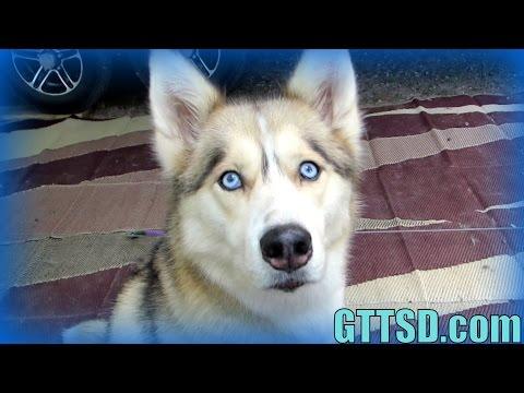 dog-does-jedi-mind-trick-|-snow-dog-short-31