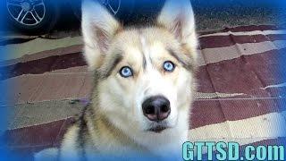 DOG DOES JEDI MIND TRICK | Snow Dog Short 31