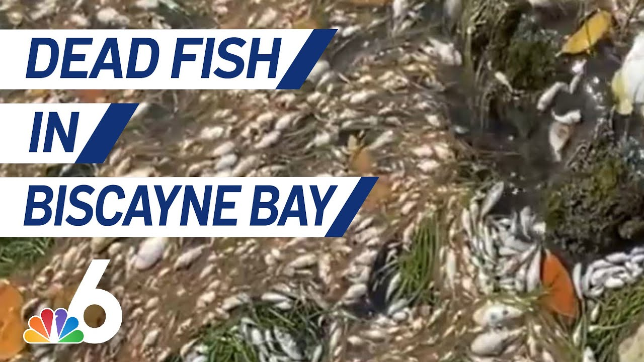 Hundreds of Fish Turn Up Dead in Biscayne Bay