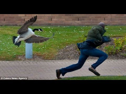 People Vs. Geese ! - Funniest and most Hilarious Geese Attack