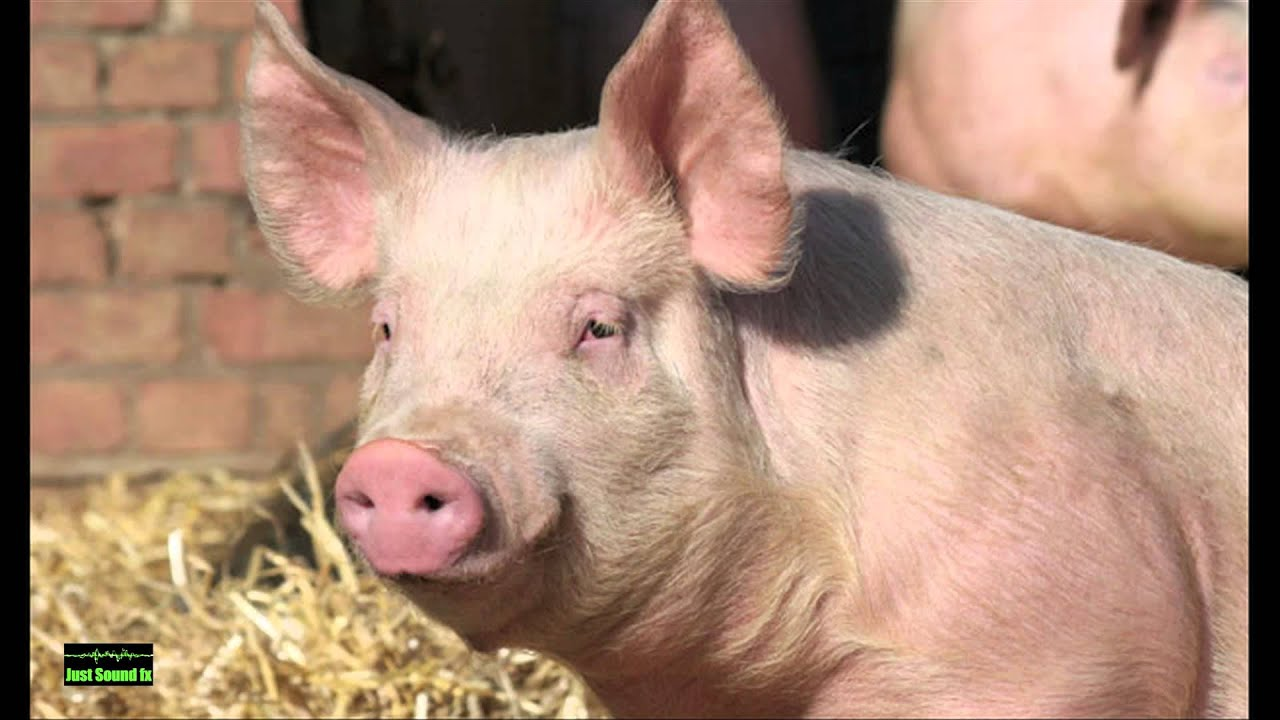 Pigs Oinking Noise - YouTube