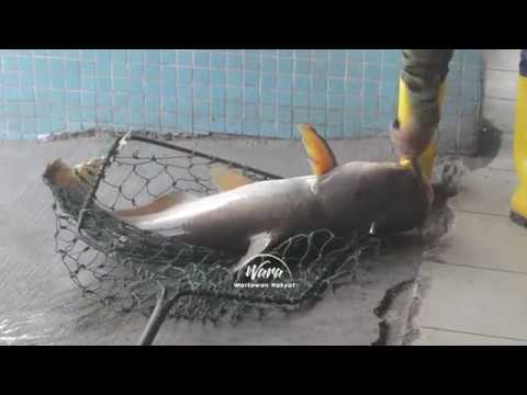 Menduga Spesis Ikan Air Tawar di Kolam Pancing Seksyen 24, Shah Alam