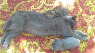 Милые котята от метиса британской кошки. Кошка и котята живут в разных домах у своих хозяив.
