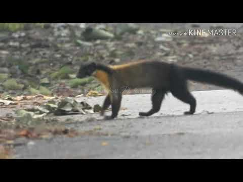 Very Aggressive and Rarely seen Yellow-throated Marten