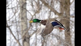 Охота на утку поздней осенью