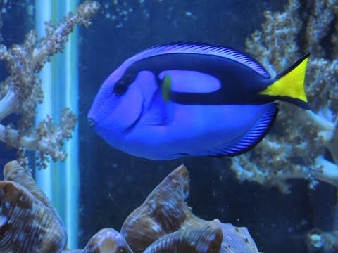 Keeping A Blue Tang In A Reef Aquarium