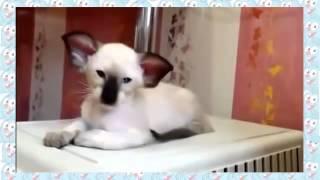 Новая порода кота:)  Страшный, но милый!