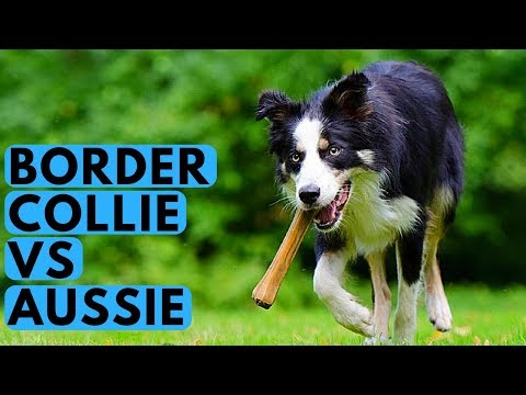 Border Collie vs Australian Shepherd - Dog Breed Differences