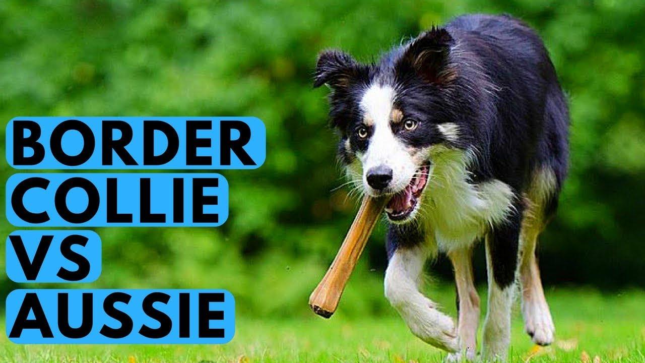 border collie vs australian shepherd - dog breed differences
